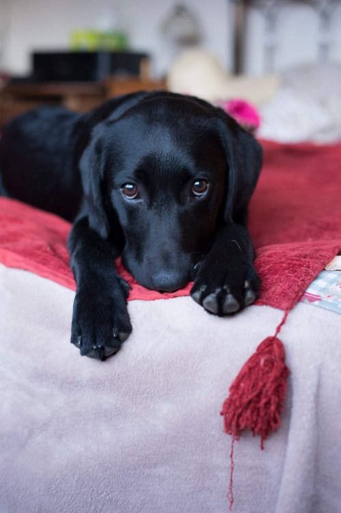 Adorable Little Black Labrador Retriever Puppy