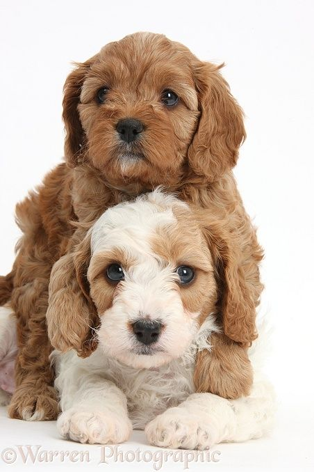 Dogs: Cute Cavapoo puppies hugging photo