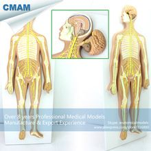 CMAM-BRAIN18 Removable Brain Parts Nervous System Anatomical Model //Price: $US $310.99 & FREE Shipping //