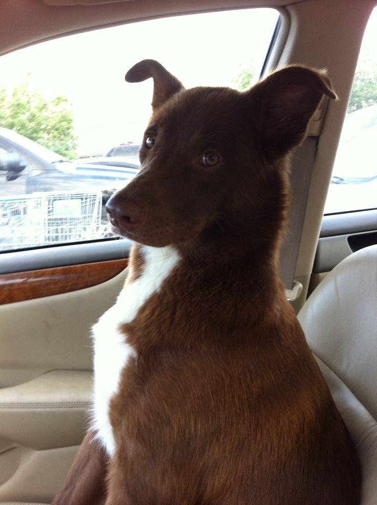 border collie / labrador mix in the car