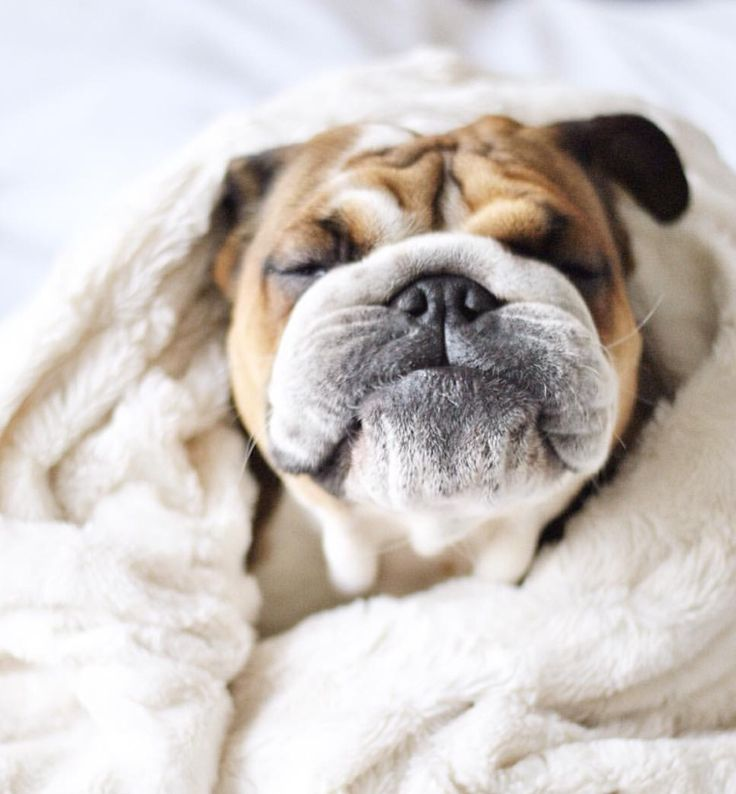 This adorable bulldog has the cutest wrinkly face!
