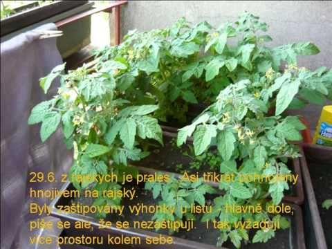 Jak jsem pěstovala rajský na balkóně