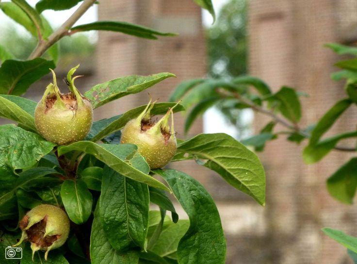 Mispel een prachtige boom/struik met decoratieve eetbare vruchten, maar zeker zo mooi in bloemstukken of voor decoratie. Een vergeten soort die de moeite waar is