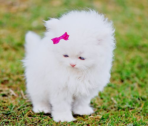 fluffy kittenThe Aristocats, Kitty Cat, Real Life, The Real, Pink Bows, Hellokitty, Hello Kitty, White Kittens, Little Princesses