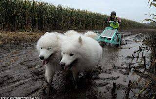 """""""O GRITO DO BICHO"""": Na Alemanha cães puxam trenós em uma dura corrida ..."""