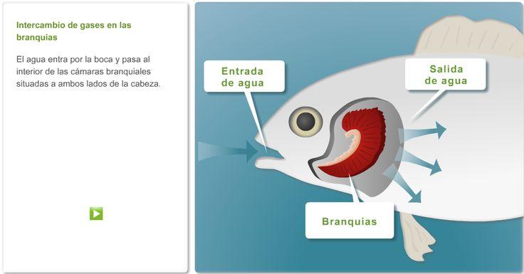 Características de los peces. http://www.ambientech.org/spa/category/seres-vivos#     Anatomía externa de los peces. La respiración. Los peces óseos y los peces cartilaginosos. La reproducción de los peces óseos. Test de evaluación.