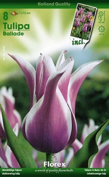 Tulpan 'Ballade':   (Tulipa gesneriana)   Liljeblommande tulpan i vitt och lila som blommar sent på våren, vilket gör den extra värdefull. Fin och hållbar snittblomma. Trivs bäst i en näringsrik jord som är väldränerad. Härdig i större delen av landet. Blir ca. 55 cm hög. Lökstorlek 11/12. 8 lökar.