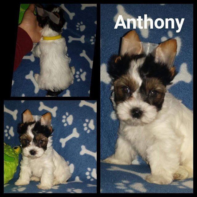 Male Biewier Yorkshire Terrier for sale. Ready now. (Anthony For Sale in Notingham, Nottinghamshire   Preloved
