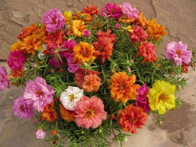 Портулак крупноцветковый (Portulaca grandiflora)