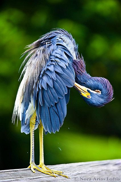 tri-colored heron  (photo by nora arias loftis)