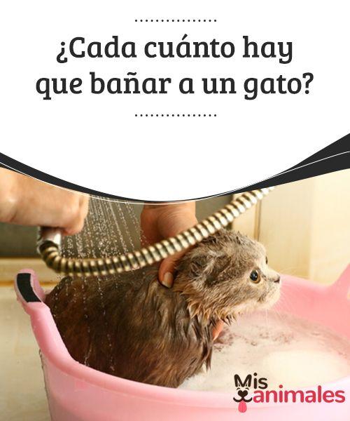 ¿Cada cuánto hay que #bañar a un gato?  Los #felinos son conocidos por su# aseo constante y sistemático. Suelen completar este #proceso con éxito a través de su lengua, que tiene unos poritos que sobresalen y actúan en forma de cepillo.