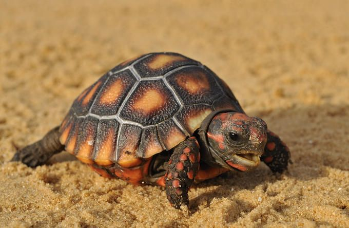 Red Footed Tortoise by Photo.net photographer Tibor Jäger