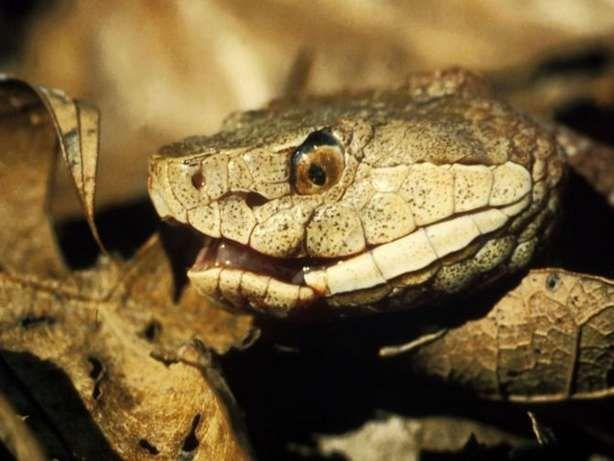 Copperhead Snake   SNAKE   Snake venom, Snake, Pit viper