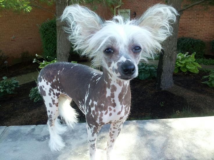 17 Best ideas about Chinese Crested Dog on Pinterest ...