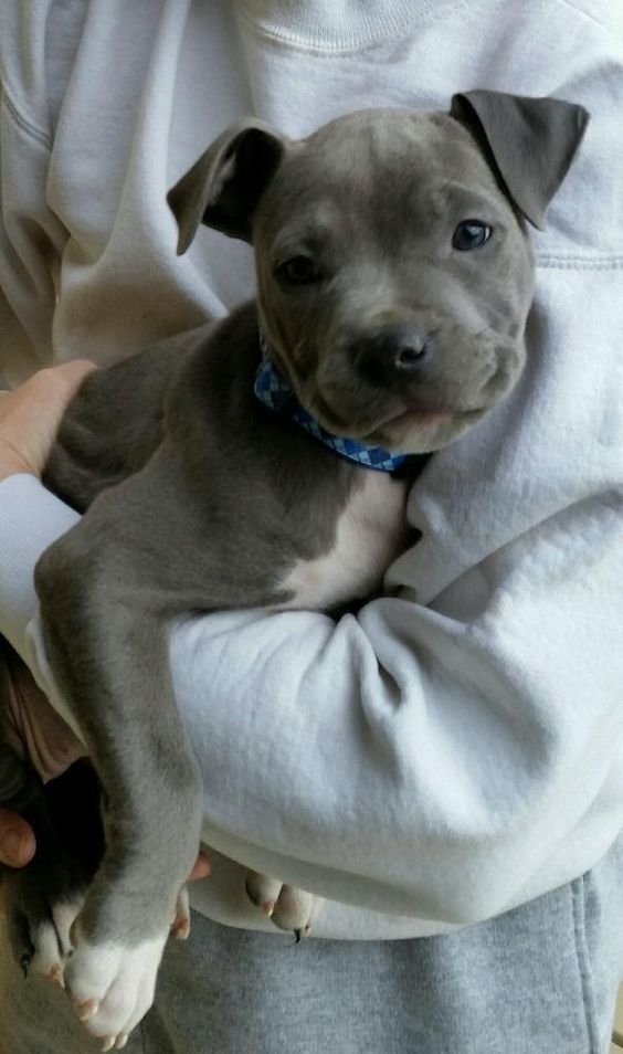 25 Best Ideas About Cute Pitbull Puppies On Pinterest