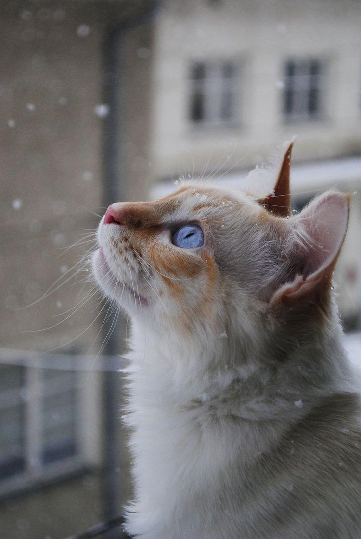 White Snow White Kitten by Mico-X
