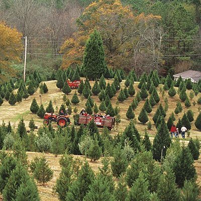 25 best Christmas Tree Farm Business Ideas images on Pinterest ...