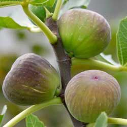 Figs Trees:  A fig tree can be grown in a large pot. They do well in poor soil, but need a sunny, protected area. Trees tend to produce more fruit when their root systems are restricted, when planting in the ground,  dig a hole about 3 feet wide and line with bricks. Mix plenty of bone meal in with the soil. Mulch fig trees in late spring with compost and water in dry weather while the fruit is growing. You can also encourage these trees to produce more fruit by pinching new shoots in…
