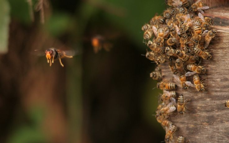 Face à l'invasion meurtrière du frelon asiatique, nos abeilles françaises ont mis au point une technique incroyable