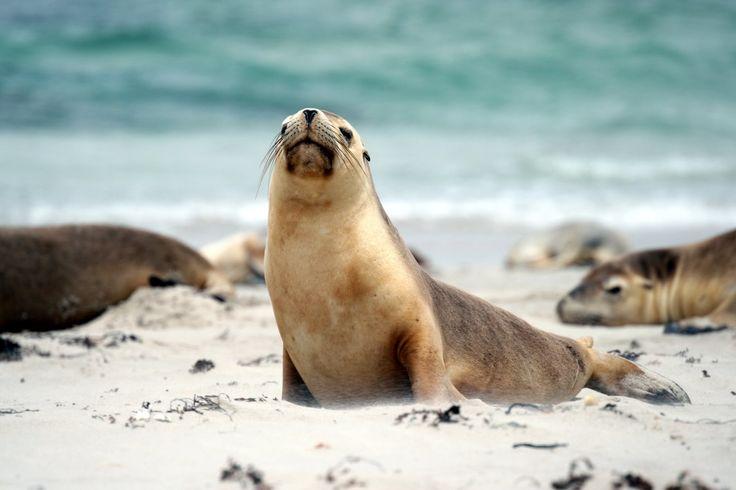 Seals at Seal Bay, Australia