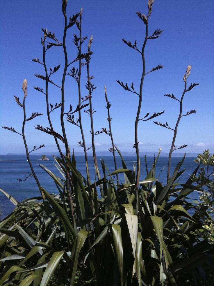 Flax, Whangarei Heads