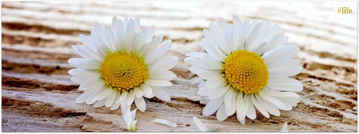 #life white yellow daisy