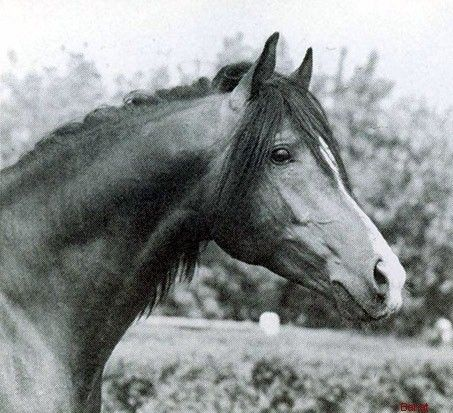 BANAT (El Azrak x Bandola, by Witraz) bay stallion bred by Janow Podlaski State Stud