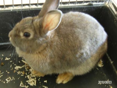 Gucci Lapin nain femelle née le 13 juin 2009. Elle a été vaccinée et stérilisée. Elle est assez imposante pour un lapin nain, elle ressemble à un lapin de garenne. Elle a du caractère et déteste qu'on la touche. Vicky - Association d'Aide aux Animaux(Drôme) 04.69.29.21.65 - 06.15.92.30.78