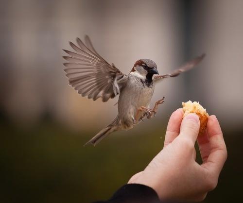 House (English) sparrow - intrusive, aggressive toward other nesting birds