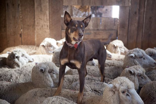 Kellie breed heard in and different way by walking on the backs of the sheep.lol now I know why penny walks on my back while I am sleeping.