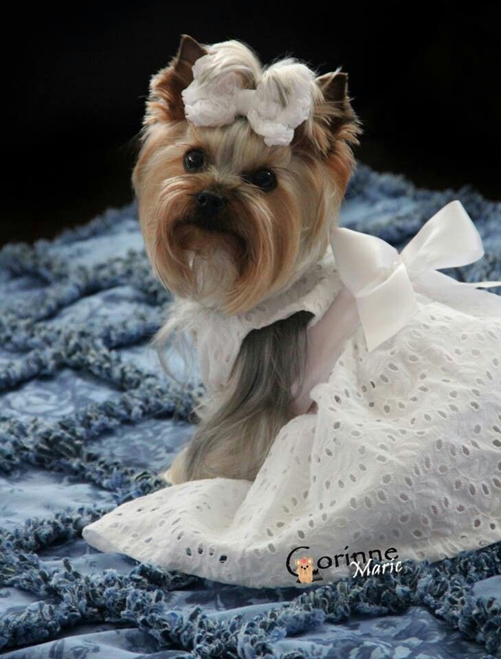 214 Best Yorkie Evening Wedding Dress And Tutu Images On Pinterest