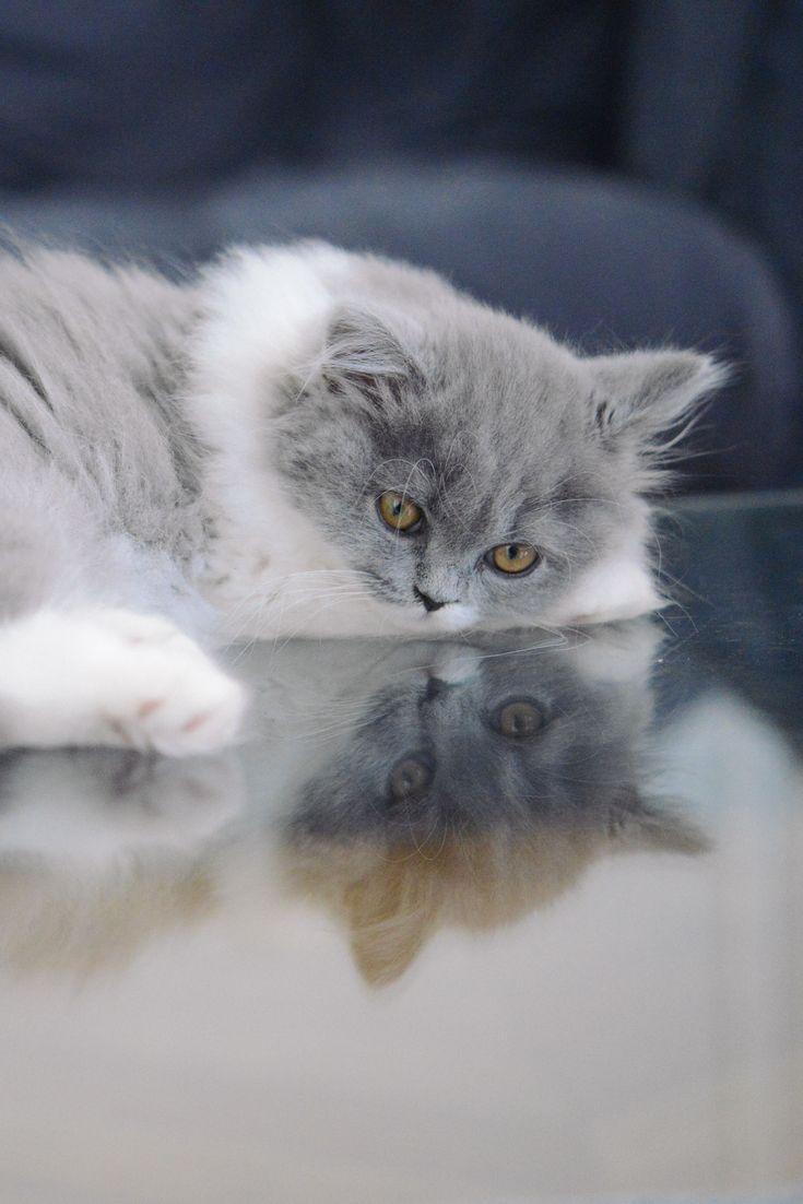 les 25 meilleures id es de la cat gorie chaton gris sur pinterest chatons chatons et chatons. Black Bedroom Furniture Sets. Home Design Ideas