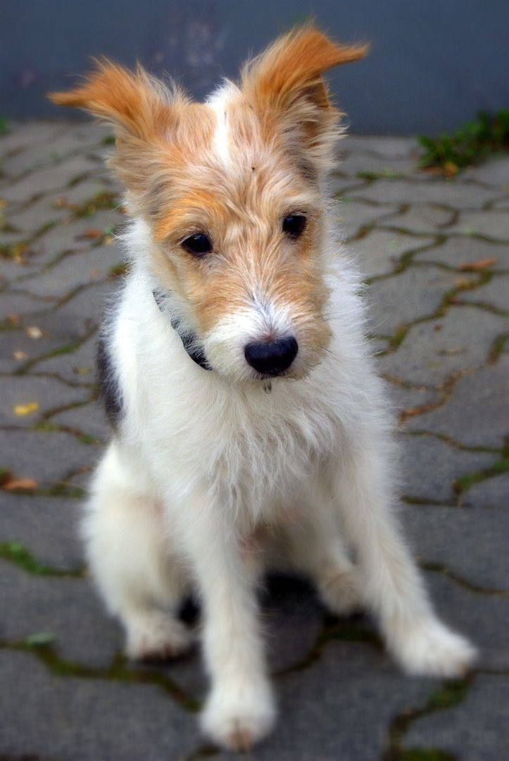 The Jack Russell terrier is a small terrier that has its origins in fox hunting. It is principally white-bodied smooth, rough or broken-coated which is ...