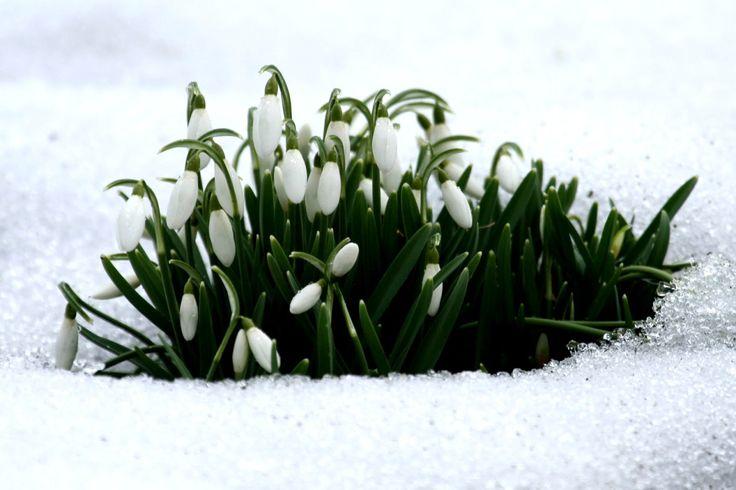 Snowdrops | Galanthus | February Fair Maids
