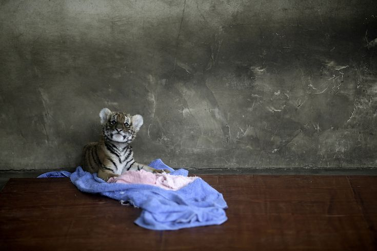 The Shanghai tiger cub from The 50 Best Animal Photos of 2012 on Buzzfeed (some on the list are not so happy, but some are really amazing)