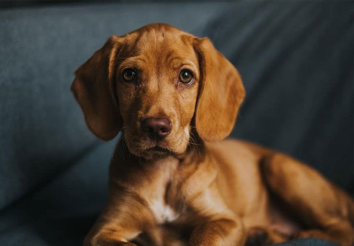 61 Crossbreeds Dogs That Are So Cute You Ll Want One Of Your Own Dog Crossbreeds Beagle Mix Puppies Corgi German Shepherd
