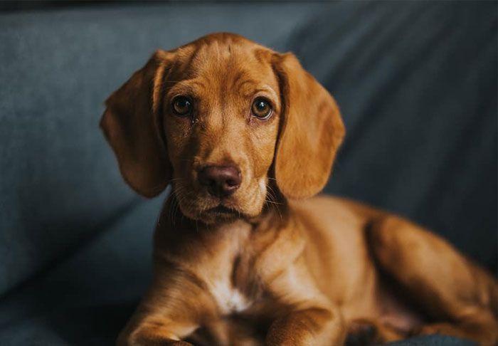 Vizsla English Cocker Spaniel Dog Crossbreeds Corgi Dachshund