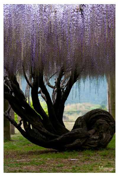 Wisteria tree at Kawachi Wisteria Garden in Fukuoka, Japan liked @thewhitleyartgallery.com