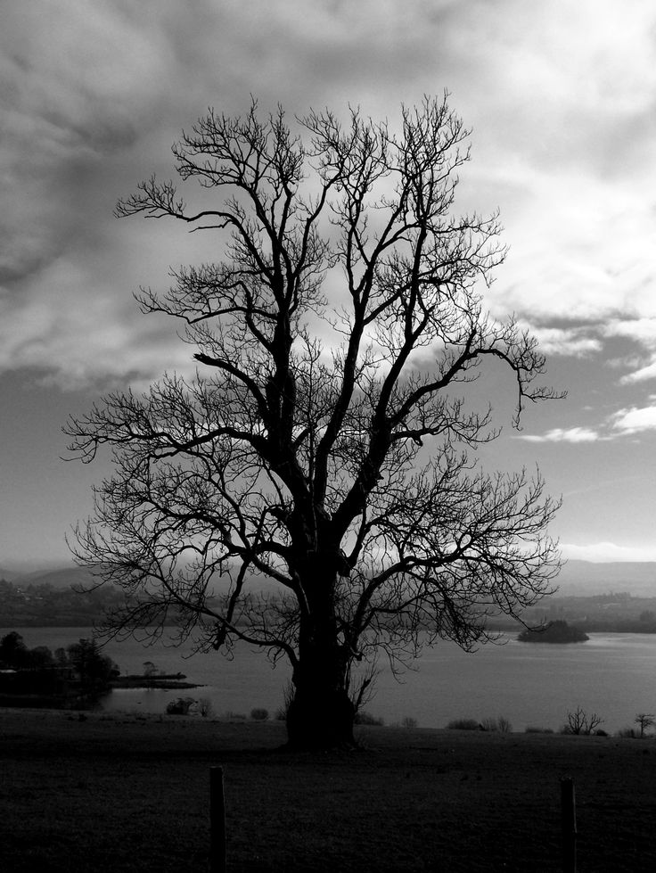 Old Ash Tree, Lough Eske, Donegal Town