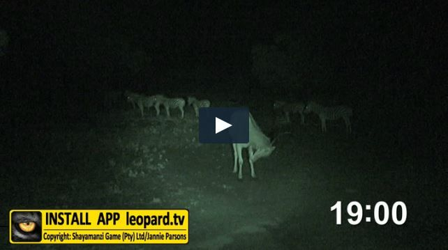 When the last rays greet us and the nightlife starts to stir, a new wildlife scene takes form with every passing second! Watch the video and find out what happens at Seringa at night! #leopardtv #africa #nightlife