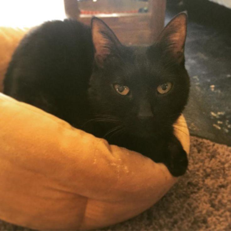 今日はお客様が少ないの… アロマを撫でてくれる人がいないのよ。 こんなに撫でてもらえるようにおとなしく待ってるのに。とでも言いたげなアロマお嬢様。  #京都カフェ #今出川通り #銀閣寺道 #おうちごはんcafeたまゆらん #たまゆらん #看板猫のいるお店 #保護猫 #黒猫 #アロマ #ツンデレ猫