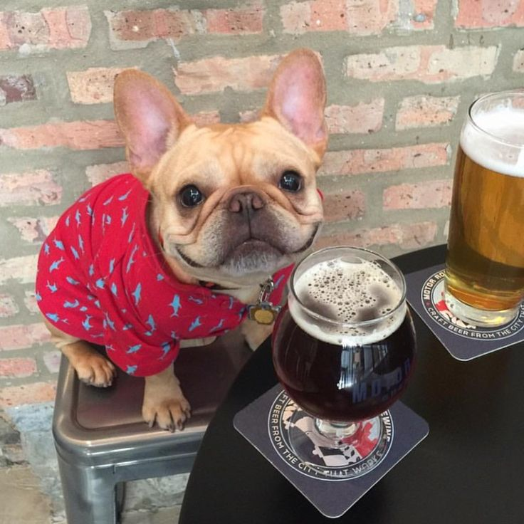 """Beer's ok, but I really like my Jammie's"", adorable French Bulldog."