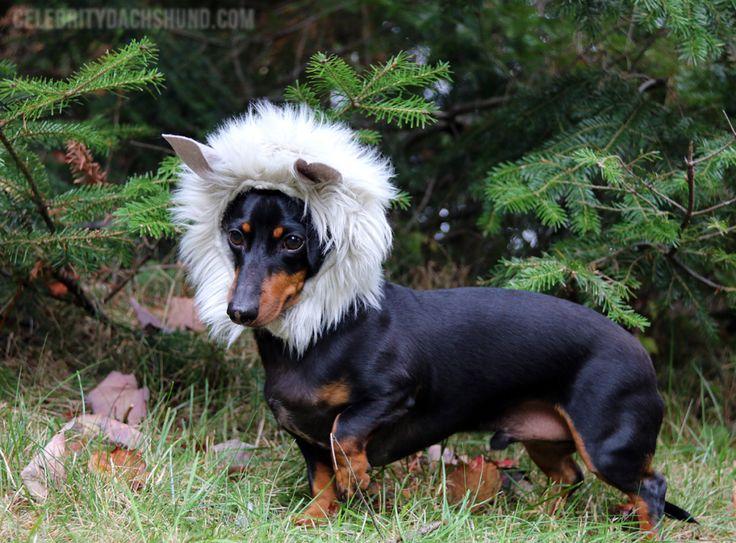 My 10 Best Dog Costumes Crusoe the Celebrity Dachshund!