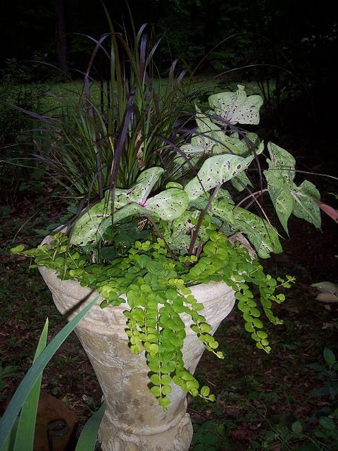 21 best images about shade garden plants on pinterest for Fountain grass for shade
