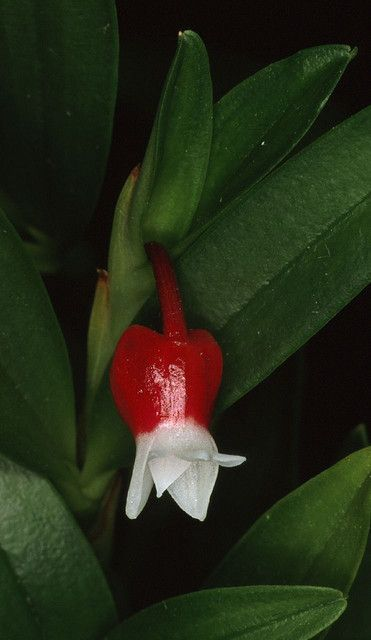 Explore afriorchids photos on Flickr. afriorchids has uploaded 22323 photos to Flickr.
