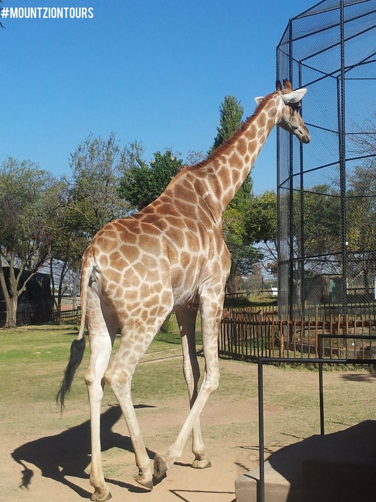 The giraffe is the tallest animal in the world, attaining a height of 5.5m.