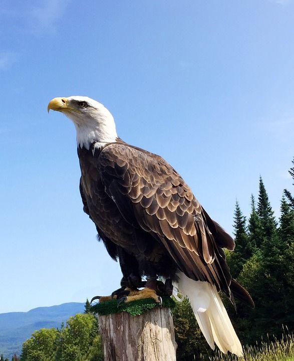 Aigle, Oiseau, Sauvage, Wild Animal, Eagle