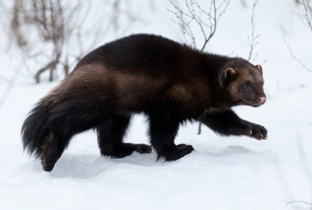 Climate Change Threatens The Wolverine - Science News - redOrbit
