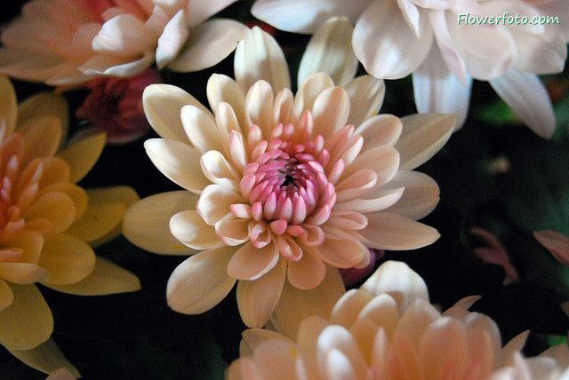 chrysanthemum flower delivery chicago