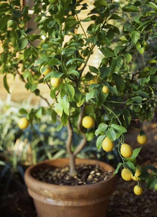 Growing Meyer lemon trees in garden pots is surprisingly easy. They bear lots of fruit and bloom fragrant blossoms. Get your potted garden going.